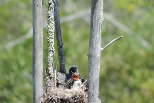 Kingbird feeding