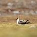 Long-tailed Skua (Bret Charman)