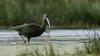 Glossy Ibis by Pascal Bernardin