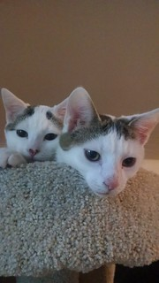 Two white kittens looking over the edge of a cat tree