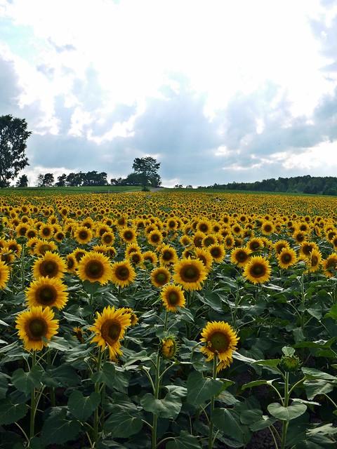 Hokuryu Sunflowers