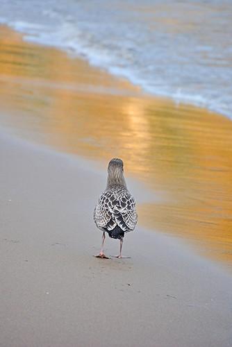 gull walking away