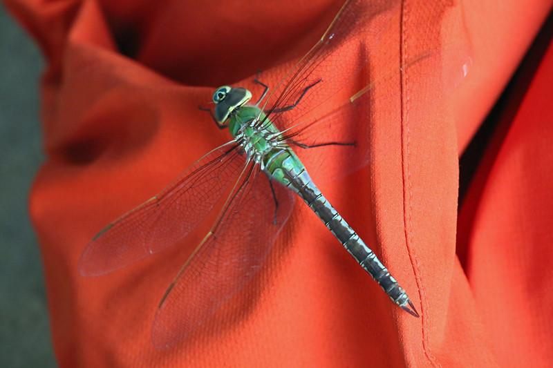 2014 9 12 - Green Darner - 9S3A2462