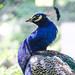 Peacock Curves