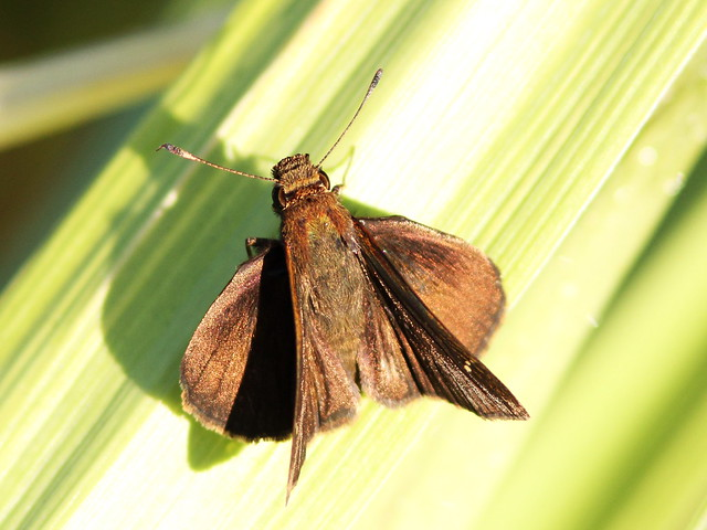 Clouded Skipper 2-20140903