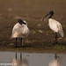 uttampegu posted a photo:	Oriental White Ibis in Udaipur