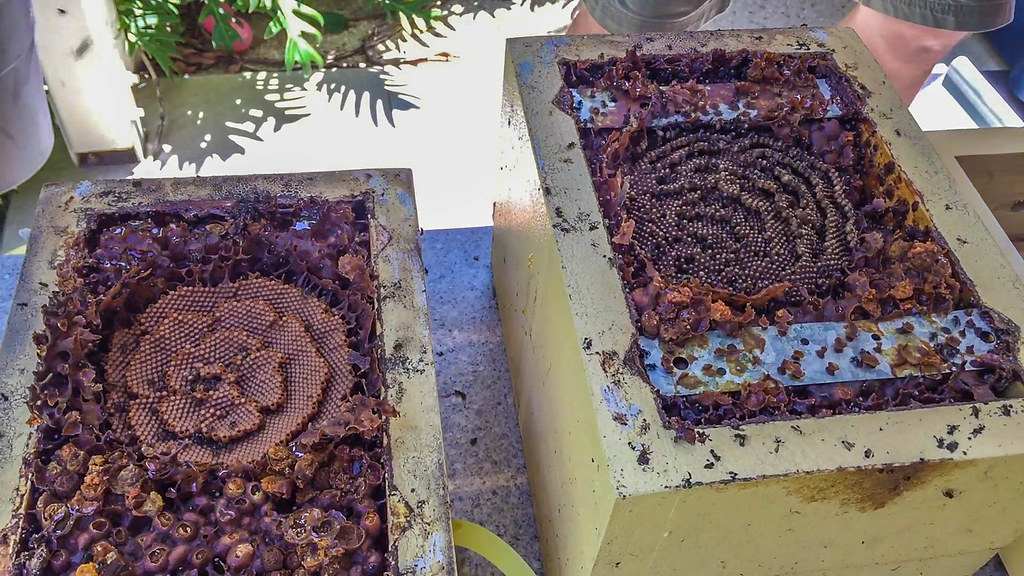 Native Bee hive split