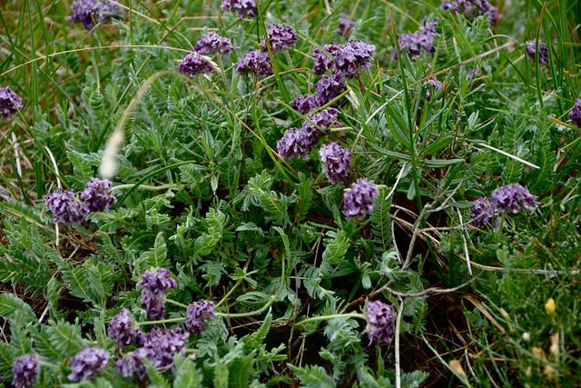 Anthyllis montana L. - vulnéraire des montagnes, anthyllide des montagnes 14256733480_9bdd183719_z