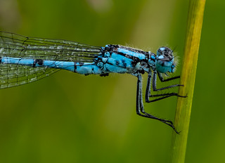 common blue damselfly 381  (4)