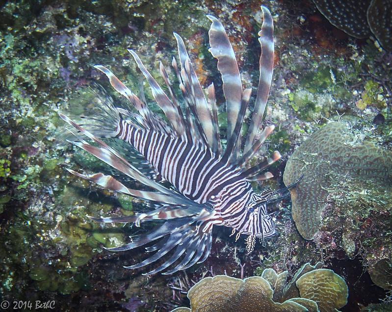 166-365 Lion Fish