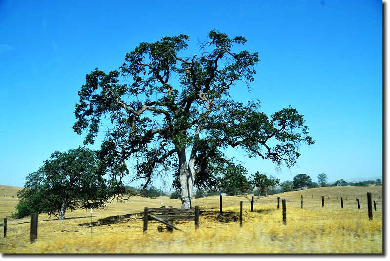 Black Oak Tree along the Highway 2