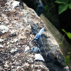 Blue dragonfly #sonyz2
