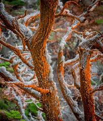 Trentepohlia on Cypress Trees at Point Lobos State Reserve - Carmel, CA
