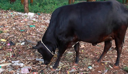 Cow eating trash