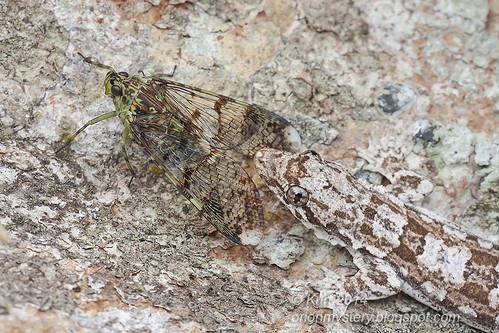 Frilly Gecko & Fulgorid - Trophobiosis IMG_0898 copy