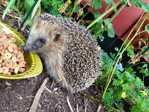 hedgehog daily