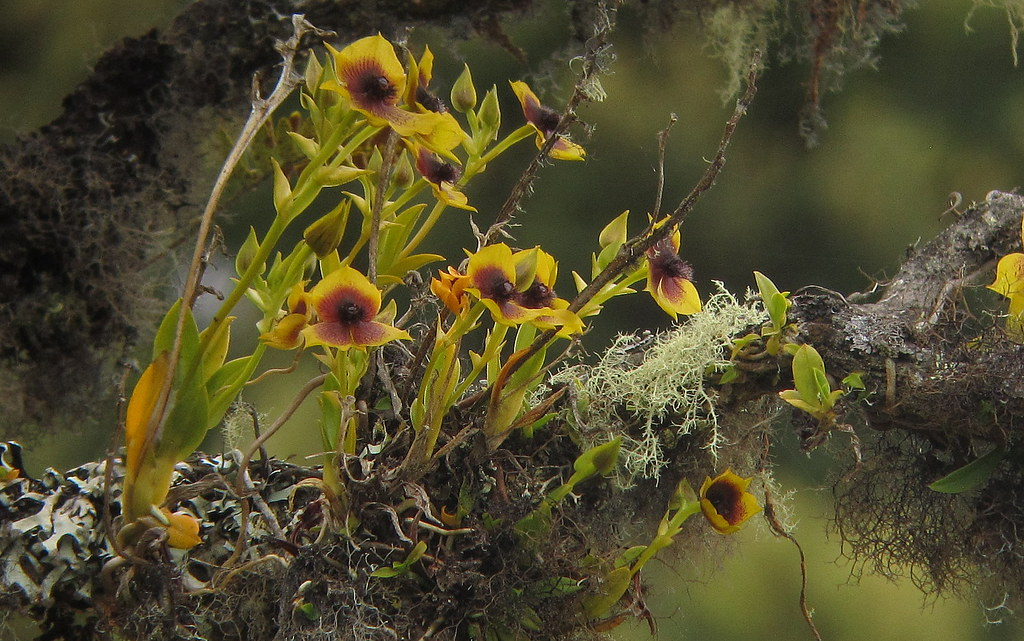 Endemic Telipogon cf. berthea orchid 1 - Chingaza, E Andes