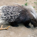 Small photo of African Porcupine