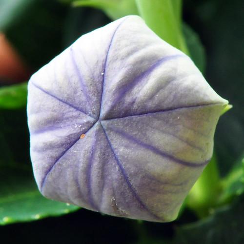 Ballonblume Chinesische Glockenblume Gartenblume Zierblume Heilpflanze Balkonblume Foto Brigitte Stolle Mannheim