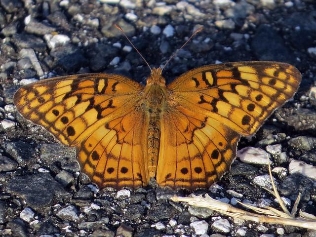 Variegated Fritillary (Euptoieta claudia)