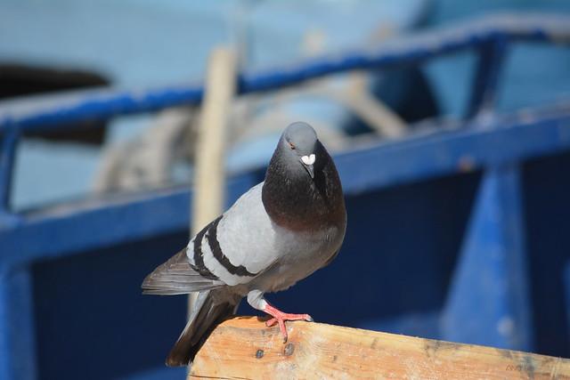 pigeon marin