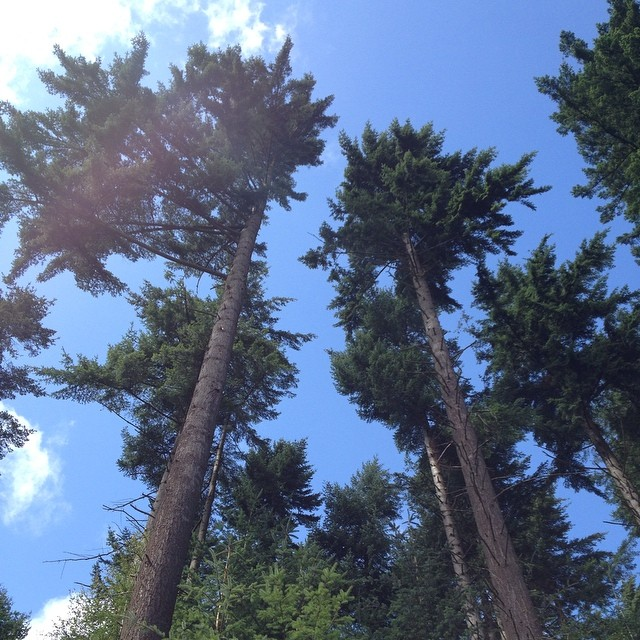 Forest walks through the tall trees of Dalby #summer #forest #walk