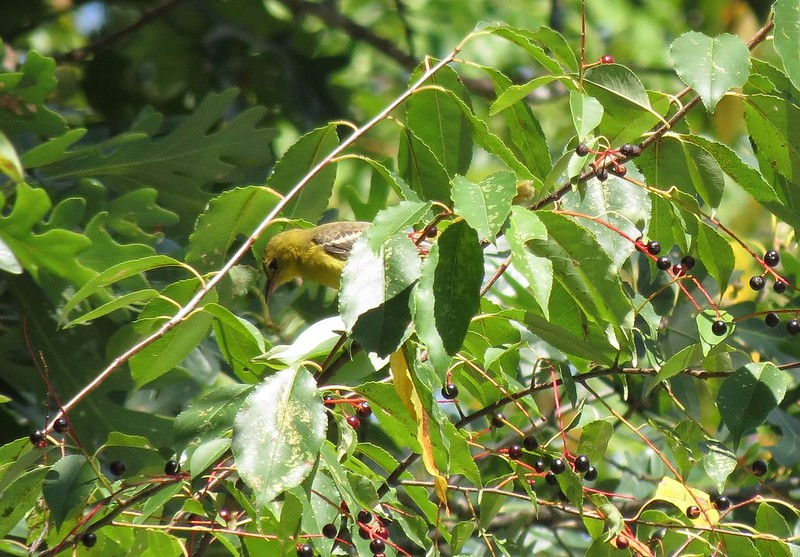 IMG_2930 Orchard Oriole