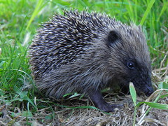 echidna, animal, porcupine, domesticated hedgehog, erinaceidae, fauna, whiskers, wildlife,