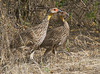Yellow-necked Spurfowl / Francolin_small