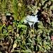 Small photo of Alpine Gentian