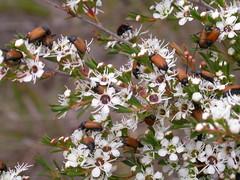 173 Phyllotocus sp. on teatree (Leptospermum), Bairnsdale, Victoria