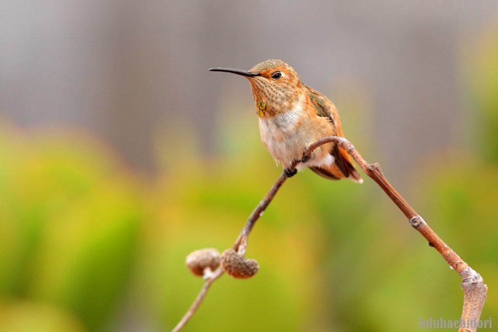 imamture male Allen's Hummingbird 080814-2