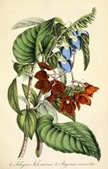 East Indian klugia (Rhynchoglossum notonianum), with fuschsia begonia (Begonia fuchsioides, as B. miniata). Deutsches Magazin fur Garten- und Blumenkunde; Stuggart, G. Weise. (1854)