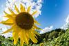 sunflower-2124
