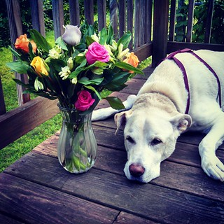 Wow, thank you @chewy family!! We were just surprised with these beautiful #flowers and Get Well message for Zeus! #love #thankful #roses #PeruvianLilies #dogstagram #Chewy is amazing!