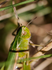 arthropod, locust, animal, branch, yellow, nature, invertebrate, macro photography, mantis, grasshopper, green, fauna, close-up, plant stem,