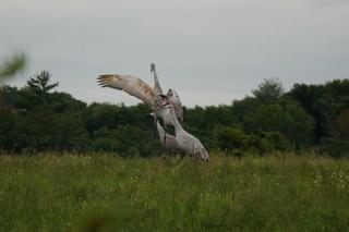 Cranes in roadside field