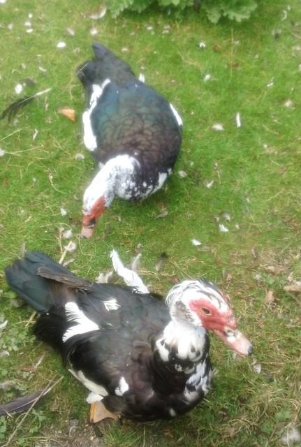 Otford's Muscovy ducks ...