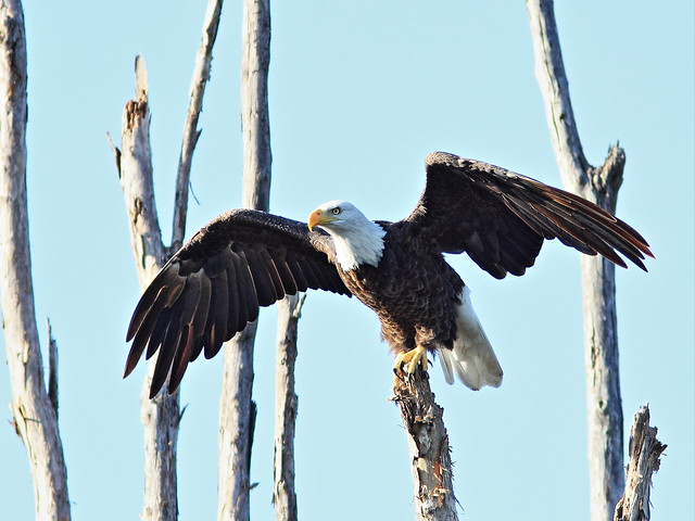 Bald Eagle female 6-20140901