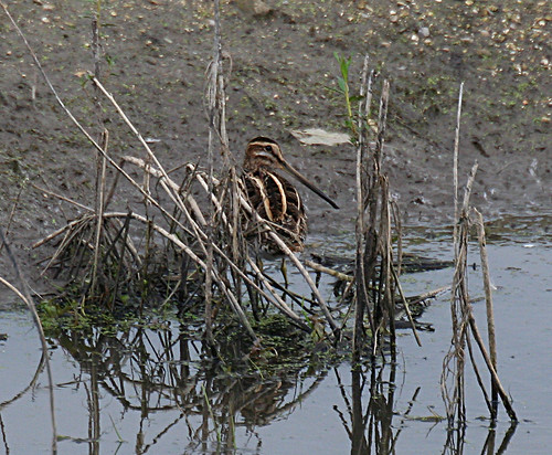 Snipe Gallinago gallinago Tophill Low NR, East Yorkshire August 2014