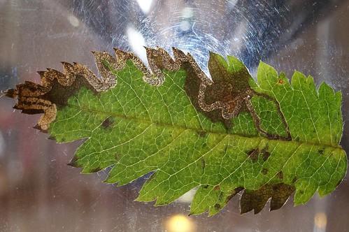 Stigmella nylandriella leaf mine