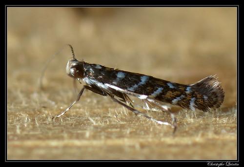 Parectopa ononidis