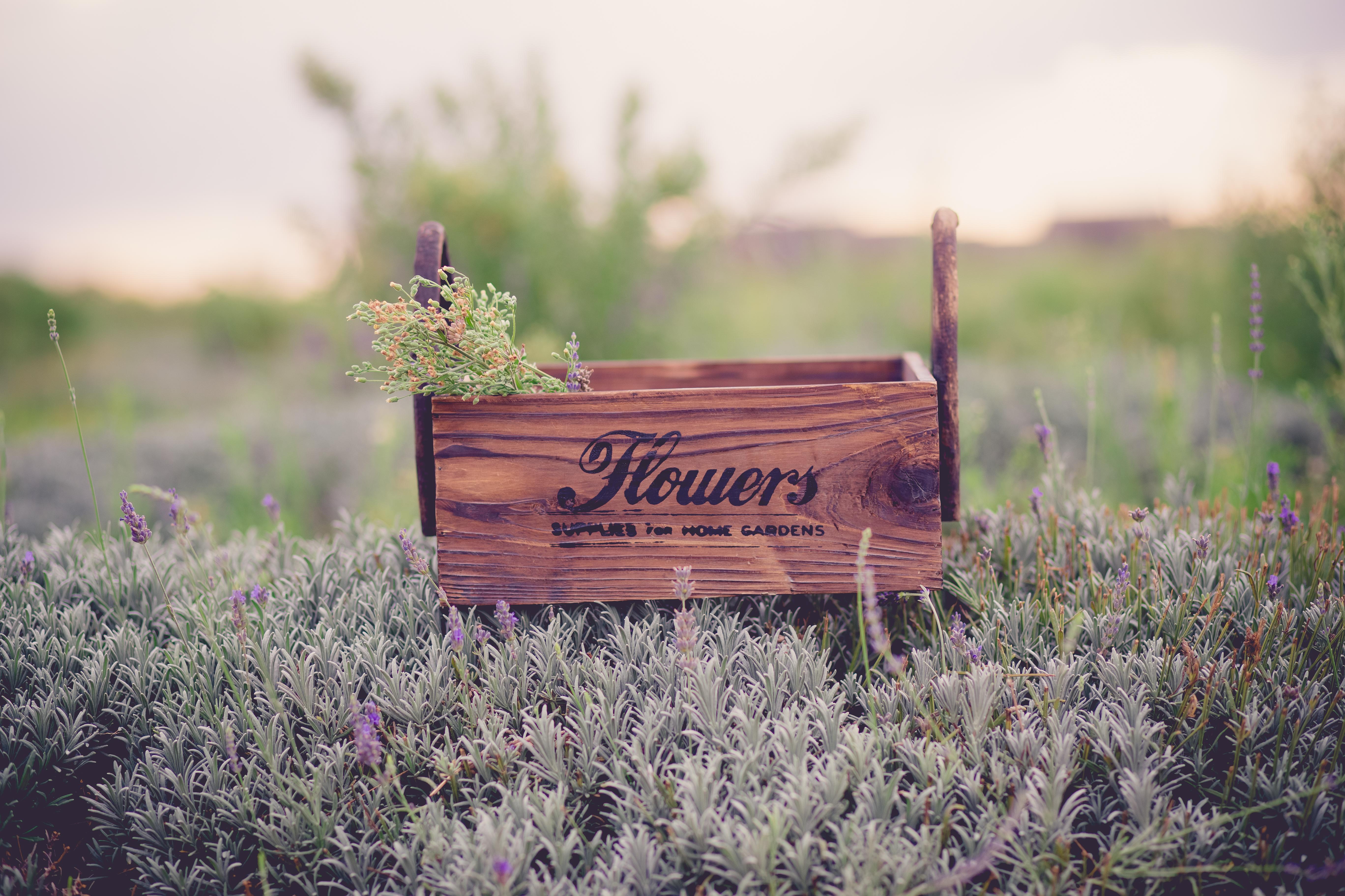 Flowers. Lavanda