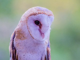 Meet a barn owl named Moonshine, a rescue from Great Basin Wildlife Rescue
