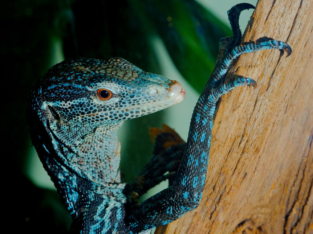 Blue Tree Monitor (Varanus macraei)_5