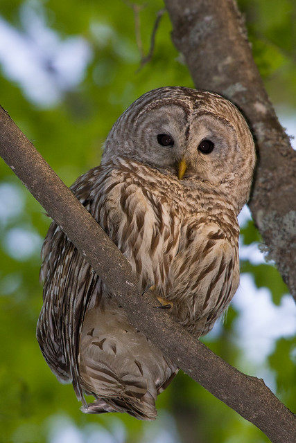Barred Owl - Nicolet State Forest  Wi