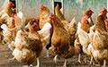 Antibiotics in the chicken we eat