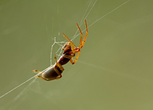 Araignée spé