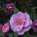 Camellia × williamsii 'Donation' by Four Seasons Garden
