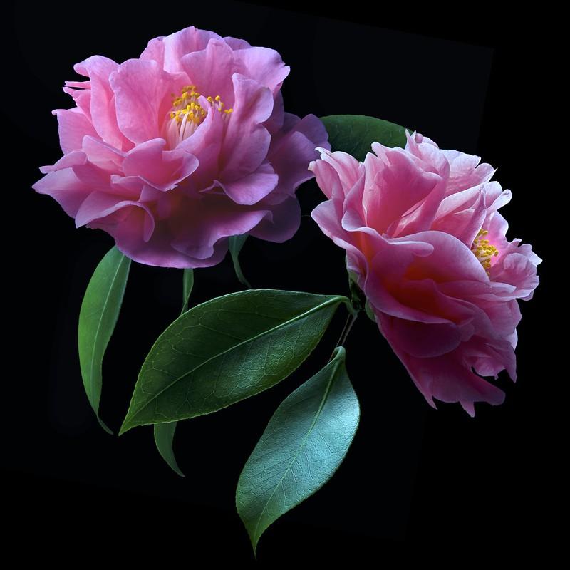 Camellia Duo (Explore)